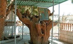 Дерево Закхея. Иерихон